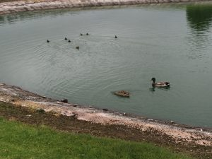 Drake, hen, and six ducklings in 2nd green water hazard. Sea 'n Air